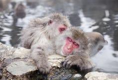 Snow monkeys in hot springs of Nagano,Japan. Royalty Free Stock Photos