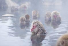 Snow monkeys in hot springs of Nagano,Japan. Snow monkeys (Japanese Macaques) in the onsen hot springs of Nagano,Japan Stock Photo