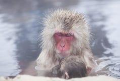 Snow monkeys in hot springs of Nagano,Japan. Snow monkeys (Japanese Macaques) in the onsen hot springs of Nagano,Japan Stock Photography
