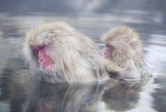 Snow monkeys in hot springs of Nagano,Japan. Snow monkeys (Japanese Macaques) in the onsen hot springs of Nagano,Japan Royalty Free Stock Photos