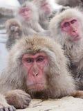 Snow monkeys in hot springs of Nagano,Japan. Snow monkeys (Japanese Macaques) in the onsen hot springs of Nagano,Japan Royalty Free Stock Image
