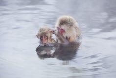 Snow monkeys in hot springs of Nagano,Japan. Snow monkeys (Japanese Macaques) in the onsen hot springs of Nagano,Japan Royalty Free Stock Photography