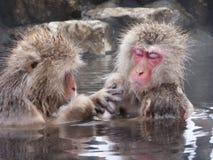 Snow monkeys in hot springs of Nagano,Japan. Snow monkeys (Japanese Macaques) in the onsen hot springs of Nagano,Japan Royalty Free Stock Photo