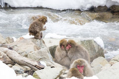 Snow Monkeys Huddling by Stream. Wild red-face, fuzzy snow monkeys huddle together for warmth on some rocks by a rushing stream in wintertime, while a baby snow Royalty Free Stock Photography
