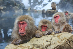 Snow monkeys, Japan Stock Image