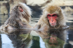 Snow monkeys, Japan Stock Photography