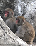 Snow Monkeys (Japanese Macaque). Pair of Snow Monkeys (Japanese Macaque Stock Photos