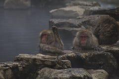 Snow Monkeys Japanese Macaques bathe in onsen hot springs of Nagano, Japan royalty free stock photo