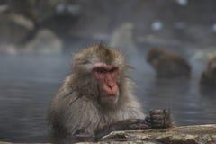 Snow Monkeys Japanese Macaques bathe in onsen hot springs of Nagano, Japan royalty free stock image