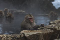 Snow Monkeys Japanese Macaques bathe in onsen hot springs of Nagano, Japan stock photos