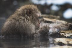 Snow Monkeys Japanese Macaques bathe in onsen hot springs of Nagano, Japan stock images