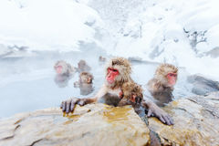 Snow Monkeys. Japanese Macaques bathe in onsen hot springs of Nagano, Japan royalty free stock image