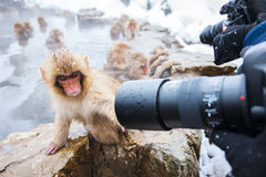 Snow Monkeys. Japanese Macaques bathe in onsen hot springs at Nagano, Japan royalty free stock images