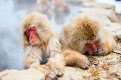 Snow Monkeys Stock Photo