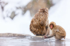 Snow Monkeys Royalty Free Stock Photography