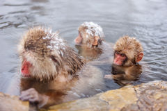 Snow Monkeys. Japanese Macaques bathe in onsen hot springs of Nagano, Japan stock photos