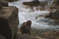 Snow Monkeys Japanese Macaques bathe in onsen hot springs of Nagano, Japan royalty free stock photo