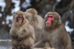 Snow Monkeys Royalty Free Stock Photos