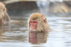 Snow Monkeys in Jigokudani Monkey Park, Nagano Stock Image