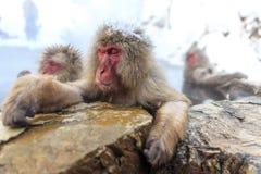 Snow Monkeys in Jigokudani Monkey Park, Nagano Royalty Free Stock Photography