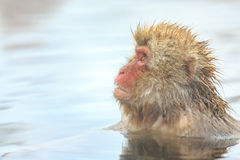 Snow Monkeys in Jigokudani Monkey Park, Nagano Stock Image