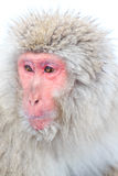 Snow Monkeys in Jigokudani Monkey Park, Nagano Stock Photography