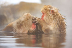 Snow Monkeys in Jigokudani Monkey Park, Nagano Stock Images
