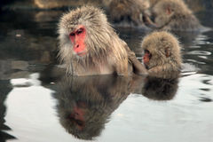 Snow monkeys, macaque bathing in hot spring, Nagano prefecture, Japan Stock Images