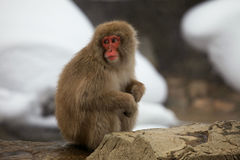 Snow monkeys, macaque, before bathing in hot spring, Nagano prefecture, Japan Stock Photo