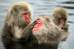 Snow monkeys, macaque bathing in hot spring, Nagano prefecture, Japan Stock Photography