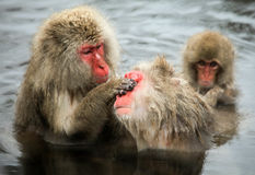 Snow monkeys, macaque bathing in hot spring, Nagano prefecture, Japan Stock Image
