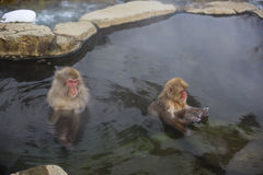 Snow Monkeys in Mineral Pool Royalty Free Stock Photo