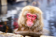 Snow Monkeys Stock Photography