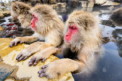 Snow Monkeys. In Nagano, Japan royalty free stock images