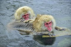 Snow monkeys in natural hot spring. Cleaning procedure. Royalty Free Stock Photography
