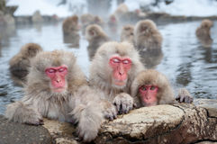 Snow Monkeys in Onsen. The famous Snow Monkeys (Japanese Macaques) bathe in the onsen hot springs of Nagano, Japan stock image