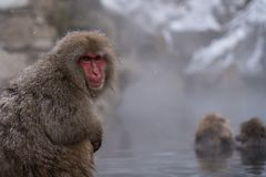 Snow Monkeys in Onsen nagano japan stock photos