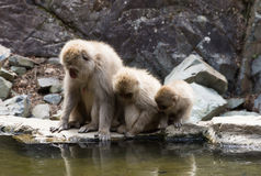 Snow Monkeys Peering Into Water. Close up of three snow monkeys or Japanese macaques peering into the water of a hot spring at their reflections stock photo