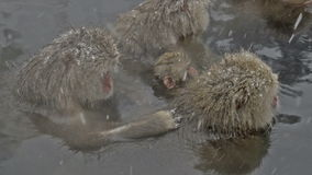 Snow monkeys preening while in a natural hot-spring, Jigokudani, Nagano, Japan. Royalty Free Stock Photos