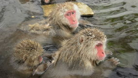 Snow monkeys preening while in a natural hot-spring, Jigokudani, Nagano, Japan. Stock Photo