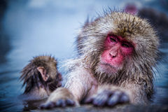 Snow monkeys relax time. Royalty Free Stock Image