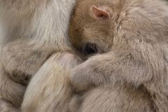 Snow Monkeys Stock Photos