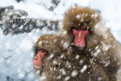 Snow Monkeys stock images