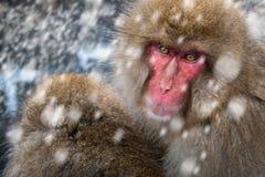 Snow Monkeys Stock Photo