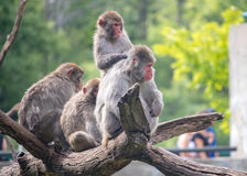 Snow Monkeys in Zoo Royalty Free Stock Image
