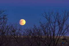 Snow moon rises over pasture. 2017 Snow moon rises over pastures of West Texas with mesquite trees royalty free stock image