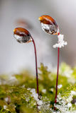 Snow and moss. Snow and moss - close up Stock Images