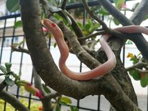 Snow motley pink corn snake Stock Photos