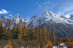 Snow mountain with autumn cedar Royalty Free Stock Images