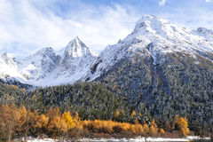Snow mountain with autumn cedar Stock Photography
